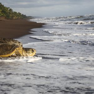 Tortue verte – Tortuguero, Costa Rica
