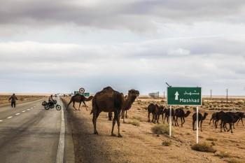 Chamelier et son troupeau – Désert Dasht-e Kavir, Iran