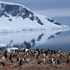 Colonie de manchots Papous – Antarctique