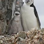 Manchots à jugulaire – Antarctique