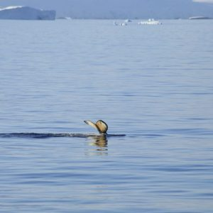 Baleine à bosse – Antarctique