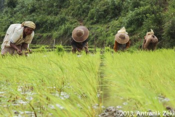 Repiquage de riz – Kalaw, Birmanie