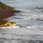 tortue verte – Costa Rica