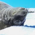 otarie à fourrure – Antartica