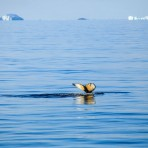 baleine à bosse – Antarctica