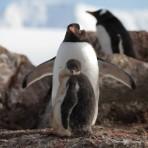 pingouin papou – Antarctica