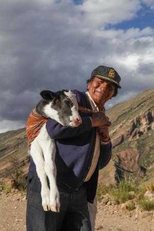 vacher portant un jeune veau – Bolivie