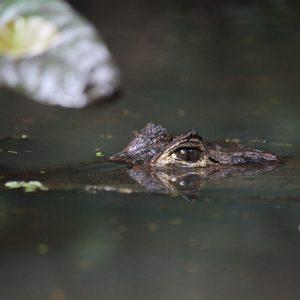 Crocodile – Tortuguero, Costa Rica